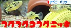 にほんブログ村 観賞魚ブログ アベニーパファーへ