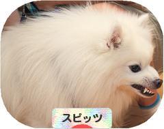 にほんブログ村 犬ブログ スピッツ(日本スピッツ)へ