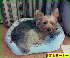 にほんブログ村 犬ブログ デカヨーキーへ