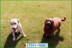 にほんブログ村 犬ブログ オーストラリアンラブラドゥードルへ