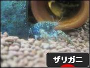 にほんブログ村 観賞魚ブログ ザリガニへ
