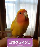 にほんブログ村 鳥ブログ コザクラインコへ