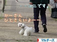 にほんブログ村 犬ブログ マルチーズへ