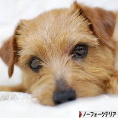 にほんブログ村 犬ブログ ノーフォークテリアへ