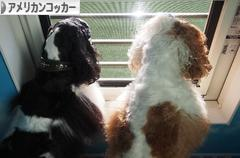 にほんブログ村 犬ブログ アメリカンコッカースパニエルへ