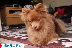 にほんブログ村 犬ブログ ポメラニアンへ