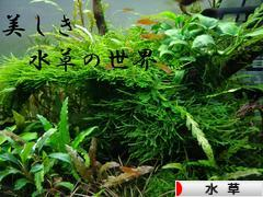 にほんブログ村 観賞魚ブログ 水草へ