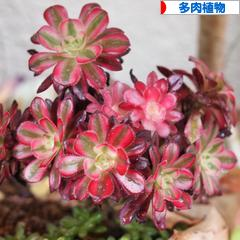 にほんブログ村 花・園芸ブログ 多肉植物へ