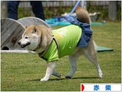 にほんブログ村 犬ブログ 赤柴犬へ