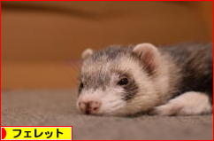 にほんブログ村 小動物ブログ フェレットへ