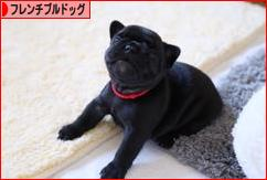 にほんブログ村 犬ブログ フレンチブルドッグへ