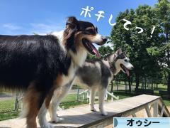 にほんブログ村 犬ブログ オーストラリアンシェパードへ