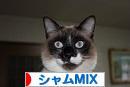 にほんブログ村 猫ブログ シャムMIXへ