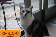 <br> にほんブログ村 猫ブログ スコティッシュフォールドへ