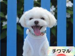 にほんブログ村 犬ブログ チワマルへ