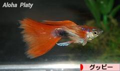 にほんブログ村 観賞魚ブログ グッピーへ