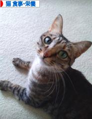 にほんブログ村 猫ブログ 猫 食事・栄養へ