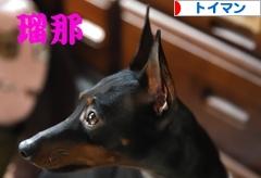 にほんブログ村 犬ブログ トイマンチェスターテリアへ