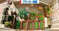 にほんブログ村 花・園芸ブログ プランター菜園へ