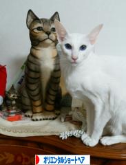 にほんブログ村 猫ブログ オリエンタルショートヘアへ