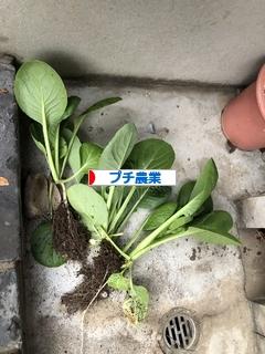 にほんブログ村 花・園芸ブログ プチ農業へ