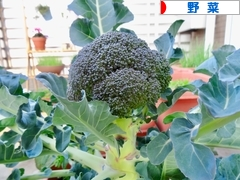 にほんブログ村 花・園芸ブログ 野菜のみ(家庭菜園)へ