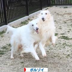にほんブログ村 犬ブログ ボルゾイへ