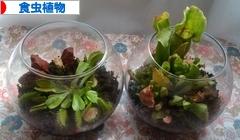 にほんブログ村 花・園芸ブログ 食虫植物へ