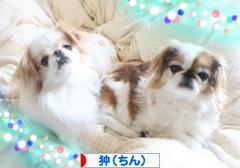 にほんブログ村 犬ブログ 狆(ちん)へ