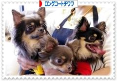 にほんブログ村 犬ブログ ロングコートチワワへ