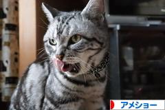 にほんブログ村 猫ブログ アメショーへ