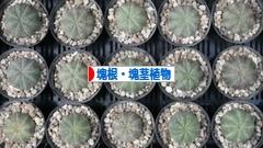 にほんブログ村 花・園芸ブログ 塊根植物・塊茎植物へ