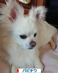 にほんブログ村 犬ブログ パピチワ(チワパピ)へ