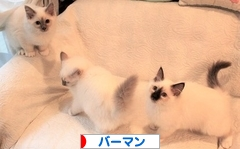 にほんブログ村 猫ブログ バーマンへ