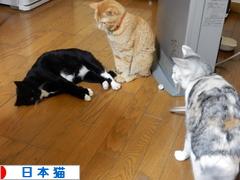 にほんブログ村 猫ブログ 日本猫へ