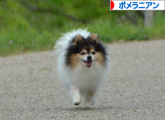 にほんブログ村 犬ブログ ポメラニアンへ