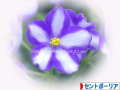 にほんブログ村 花・園芸ブログ セントポーリアへ