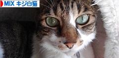 にほんブログ村 猫ブログ MIXキジ白猫へ