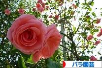 にほんブログ村 花・園芸ブログ バラ園芸へ