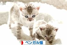 にほんブログ村 猫ブログ ベンガル猫へ