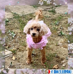 にほんブログ村 犬ブログ 犬 闘病生活(糖尿病・生活習慣病)へ