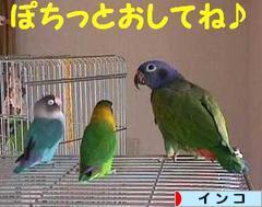にほんブログ村 鳥ブログ インコ