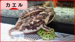 にほんブログ村 その他ペットブログ カエル