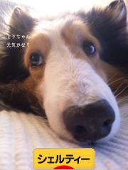 にほんブログ村 犬ブログ シェルティーへ
