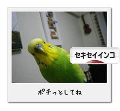 にほんブログ村 鳥ブログ セキセイインコ
