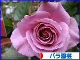 にほんブログ村 花・園芸ブログ バラ園芸