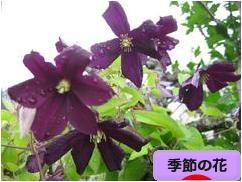 にほんブログ村 花・園芸ブログ 季節の花へ