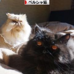 にほんブログ村 猫ブログ ペルシャ猫へ