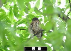 にほんブログ村 鳥ブログ 野鳥