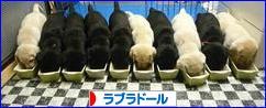 にほんブログ村 犬ブログ ラブラドール